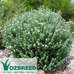 Westringia fruticosa GREY BOX™