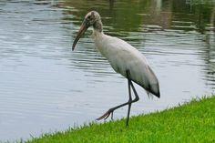 Wood stork Port Saint Lucie, FL