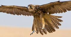 O falcão-peregrino ostenta o título de ave mais veloz do planeta. Durante a caça, ele faz um mergulho para abater a presa, mantendo as asas semi-recolhidas, que chega a 322 quilômetros por hora