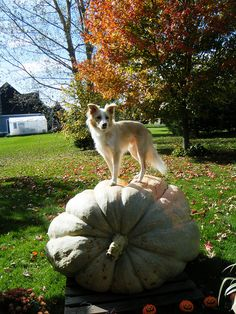 Border Collie on Giant Pumpkin...couldn't ask for a better fall