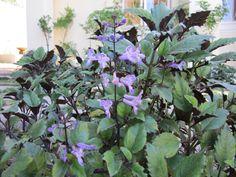 plectranthus mona lavender mona lavender indigenous