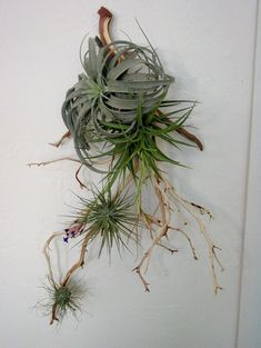 Tillandsia and branch