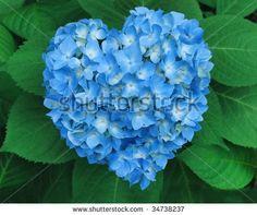 blue hydrangea - Heart