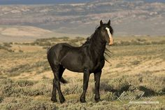 The Black Stallion  Fine Art Wild Horse Photograph by Carol Walker  www.LivingImagesCJW.com
