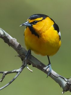 ...  you might not be as familiar with the Bullock's Oriole, which inhabits the left-half of the United States. Description from perkypetwildbirdjournal.com. I searched for this on bing.com/images