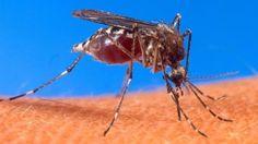 'Aedes aegypti', mosquito responsable de la transmisión del Zika  La epidemia del virus del Zika tiene fecha de caducidad  La incapacidad de reinfección del virus hará que llegue un momento en el que no haya más personas a las que infectar y los expertos calcula que finalizará en los próximos dos o tres años