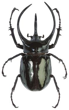 escarabajos - Buscar con Google