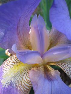 Purple iris my garden 2012