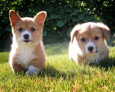 Cute Either Way, Ears Up or Down - adorable Pembroke Welsh Corgi puppies - Flickr - Photo Sharing! by Danielle Hughson
