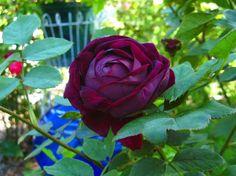 david austin rose the prince | black rose ...The Prince David Austin - Texas Gardening Forum ...
