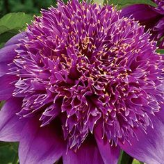 Powder-Puff Dahlia Purple Haze. Nearly as large as a dinner plate, this Powder-Puff is a perfectly formed flower in its own right. Purple Haze is purple with a crimson heart.