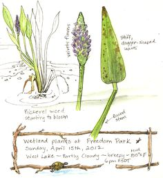 A Nature Art Journal in Southwest Florida: Wetland plants at Freedom Park