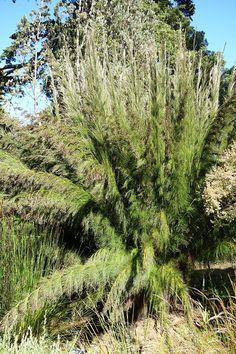 Rhodocoma capensis - San Francisco Botanical Garden - DSC09911 - Restionaceae – Wikipedia