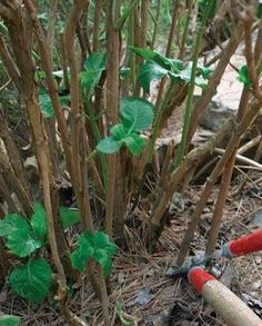 Pruning Hydrangeas - whether it blooms on new or old wood makes a difference as to when and how to prune