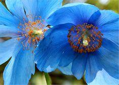 Blue Tibetan Poppies 8x10 Fine Art Photograph on Etsy, $28.00