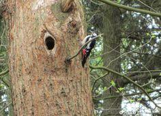 Grote Bonte Specht bezig met nest
