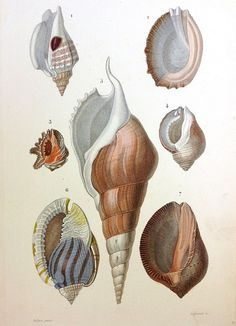 19th C. shell lithograph