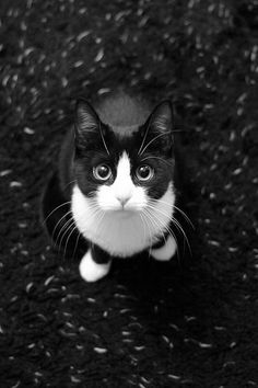 Black and white cat - cute! X