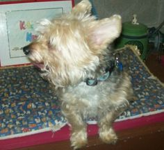 Meet Barney a Petfinder adoptable Yorkshire Terrier Yorkie Dog | Norris City, IL | Barney is a very loving sweet fellow, about 9 years old.  His owner passed a way and he misses her...