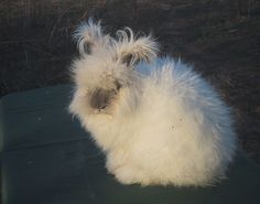 Willie is a lilac pearl English Angora rabbits - very cute!
