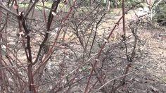 """Обрезка  жимолости весной.Уход за жимолостью. Сайт """"Садовый мир"""""""