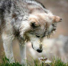 Beautiful wolf wondering about a butterfly.