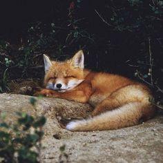 лиса спит)