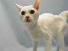 SNOW - A1089654 - - Brooklyn  ***TO BE DESTROYED 09/28/16*** SWEET SNOW IS AN AFFECTIONATE AND FRIENDLY BOY BUT HIS WONDERFUL DISPOSITION WON'T BUY HIM FREEDOM TOMORROW! SNOW was dumped for his owner's personal problems. He only about a year old – just a grown kitten. SNOW caught the shelter cold and now is going to die for it. He was AVERAGE rated for his friendly behavior and would love to be your new best friend. Hurry and adopt or foster this boy now b