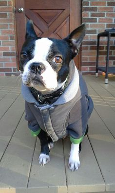 When it's Cold Outside, Rocky the Boston Terrier Wears a Shirt and Jacket ► http://www.bterrier.com/?p=30118 - https://www.facebook.com/bterrierdogs
