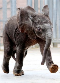 Rungwe, the first elephant born from artificial insemination in France, takes its first steps. (Jean-francois Monier / AFP - Getty Images)