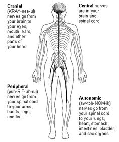 The four parts of the nervous system