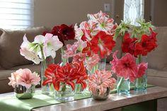 #GARDENGIVEAWAY — Longfield Amaryllis Bulbs   Gardening with Confidence & Plants with Benefits with Helen Yoest