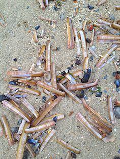 Scharen/Scheermesjes aangespoeld op het strand.