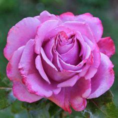 Роза Bossuet, Aigle de Meaux, Guillot Lilac Roses, Shops, Bloom, Flowers, Plants, Animaux, Tents, Retail, Plant