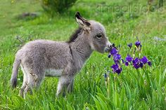 Weird Stock Photo MAM 14 KH0394 01 - Sardinian Donkey Foal Sniffing Blue Iris Flowers France - Kimballstock Baby Donkey, Cute Donkey, Mini Donkey, Baby Cows, Donkey Donkey, Cute Creatures, Beautiful Creatures, Animals Beautiful, Cute Baby Animals