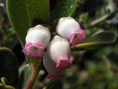 Uva ursina - fiore
