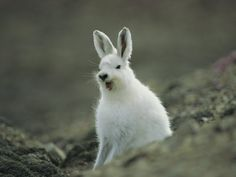 A Yawning Arctic Hare Photographic Print Arctic Hare, Arctic Animals, Snow Bunnies, Bunny Rabbits, Rabbit Rabbit Rabbit, Funny Animals, Cute Animals, Wall Art For Sale, Animal Kingdom