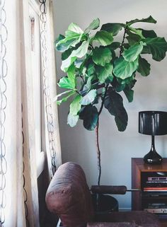 Ficus lyrata, the fiddle leaf fig, offers wavy green leaves shaped somewhat like a fiddle. It is also among the best plants for cleaning indoor air Indoor Garden, Indoor Plants, Home And Garden, Ficus Lyrata, Plantas Indoor, Fiddle Leaf Fig Tree, Fiddle Fig, Belle Plante, Pot Plante