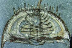 Trilobite fossil - It Took 60,000 Years to Kill Nearly Everything on Earth | LiveScienc