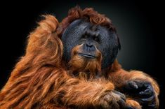 A male orangutan gazes into the camera in this National Geographic Your Shot Photo of the Day. Animals Images, Animal Pictures, Cool Pictures, Cute Animals, Wild Animals, National Geographic, Beautiful Creatures, Animals Beautiful, Male Orangutan