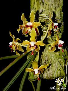 Paraphalaenopsis Denevei | Paraphalaenopsis denevei (J.J. Sm.) A.D. Hawkes 1963
