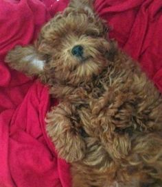 Abu the Toy Poodle