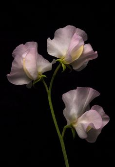A touch of beautiful sweet pea