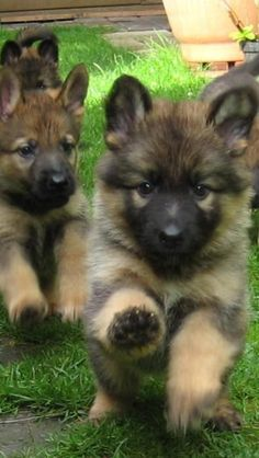 German Shepherd Puppies – They Are So Fluffy When They Are Little ! We had 10 of them, German Shepherd puppies, beautiful. Puppies And Kitties, Cute Puppies, Pet Dogs, Dog Cat, Doggies, Gsd Puppies, Kittens, The Animals, Cute Baby Animals