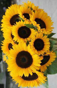 Sunflower Photography, Nature Photography Flowers, Sunflower Pictures, Sunflower Art, Yellow Flowers, Beautiful Flowers, Growing Sunflowers, Corporate Flowers, Sunflower Wallpaper