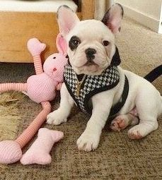 Zilli, the French Bulldog Puppy❤