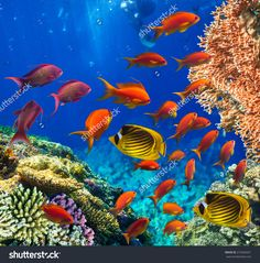 Photo Of A Tropical Fish On A Coral Reef - 273206561 : Shutterstock
