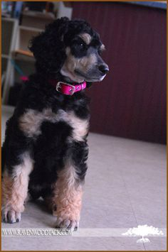 Bella- Phantom colored standard poodle puppy
