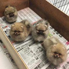 Pomeranian clan @jerry_tee