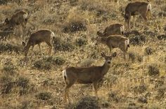 Mule deer graze this month in Nevada's Granite range where Wildlife Services has spent more than $500,000 killing 45 mountain lions and more than 950 coyotes in an effort to boost mule deer numbers. Scientists say killing the predators has yielded no benefit.